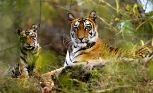 MP-Bandhavgarh-National-Park